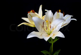 Lily flowers on a black background