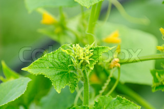 Buds on Green Cucumber Plant