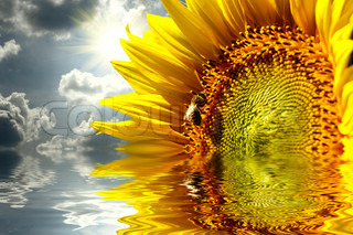 Close-up of sun flower on the sanset background reflecting in water