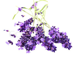 fresh lavender flowers over white