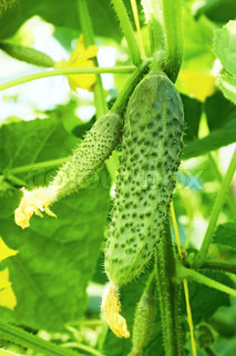 Cucumbers in greenhouse