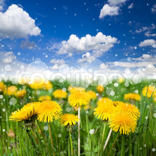 A beautiful meadow with flowering dandelions on background of blue sky with a nice bokeh effect