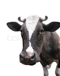 Black-and-white cow on the white background