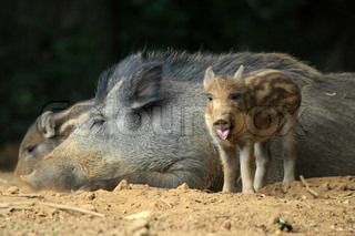 The boar or wild boar