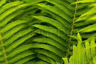 Green leaves of fern, tropical forest, are in sunbeams