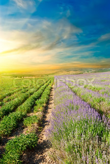 Vertical picture is split lavender fields at sunset