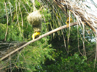 Weaver Bird Weaving A Nest