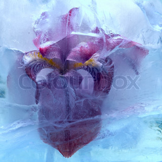 Frozen iris flower