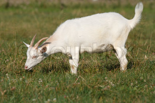 A goat grazing in the meadow