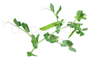 Branches of green pea on white background