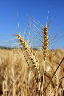 spikelets of ripe wheat