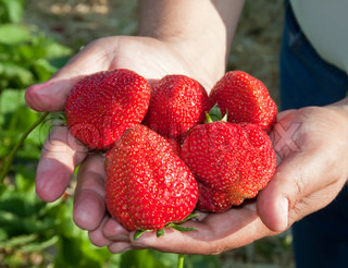 Ripe, juicy strawberries in a man's hand.