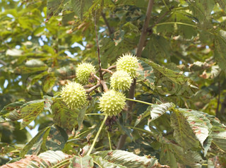 Green and thorny chestnut fruit on branch