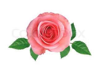 Pink rose with green leaves isolated on white