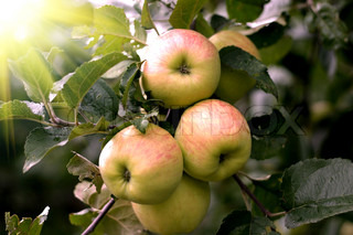 Beautiful apples on the branches of apple tree with sun