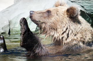 Bear swims in the water