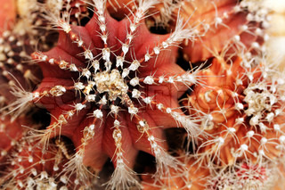 Close-up of red and orange colored melon cactus showing sharp spines and spherical shape of the plant with ridges This desert plant is also called scientifically as Cactus melocactus