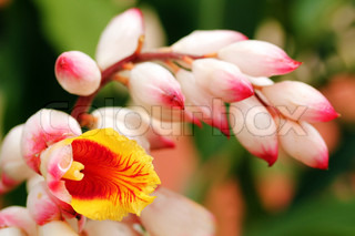Bright and beautiful cardamomcardamon flowers in red, orange and yellow colors in the foreground with floral buds in pink color in the background