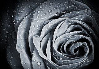 Rose flower with water droplets Monochrome stylized close-up photo with shallow depth of field