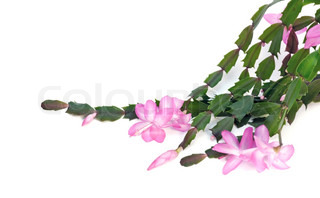 House plant Schlumbergera flowers on the white background