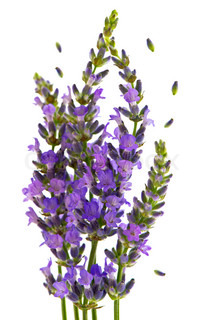 fresh lavender plant flowers over white