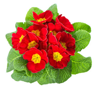 red primula flowers with green leaves