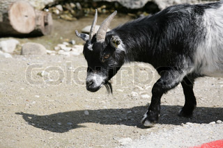Goat close to the river