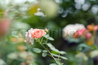 flower of rose with bokeh summer background