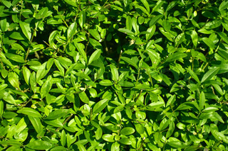 Green hedge plant surface