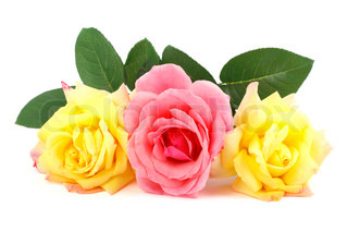 Pink and yellow roses isolated on white