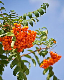 mountain ash on a background of blue sky