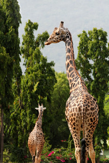 They are scientifically known as Giraffa camelopardalis These graceful & pretty animals are herbivores & love acacia leaves
