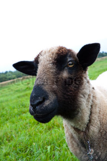 Black headed sheep head