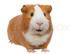 red guinea pig isolated on white