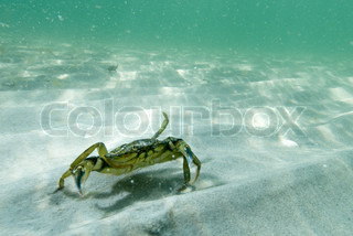 Crab wandering on the sea floor under water in the ssand