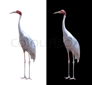 Beautiful sarus crane isolated on white with clipping path These birds are largest flying birds found mainly in india,southeast asia & australia The body is grey while the head is red with long beak