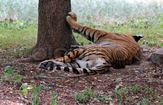 Majestic & beautiful royal bengal tiger which is the biggest of cats relaxing at mysore zoo, India These animals are top predators and carnivores Scientifically they are called panthera tigris