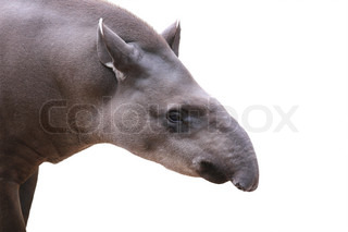 Baird's tapir face closeup shot isolated on white This is the largest land mammal in central and south america and is a herbivore These animals are in danger of extinction because of humans