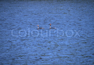 two great crested grebes on lake
