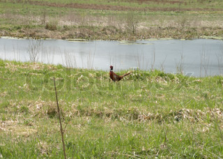 pheasant on green at a pond