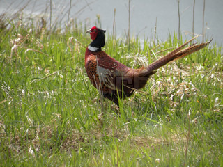 close up of a pheasant in grass at water