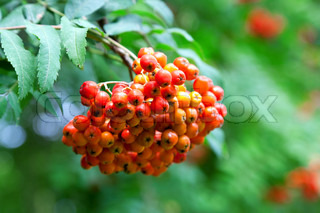 A tree with rowan berries in the fall