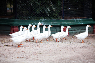 beautiful white geese in nature