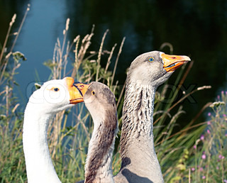 close-up of gray and white geese