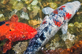 Two Japanese koi fishes swimming in a clear water