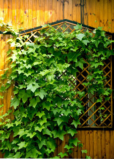 green hops plant on a wooden wall