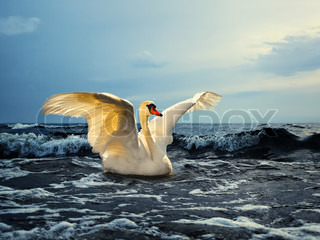 White swan with spread wings on the sea