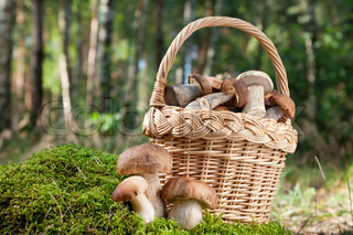 basket with mushrooms ceps on moss