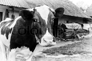 Black-and-white photo on the background of a cow farm