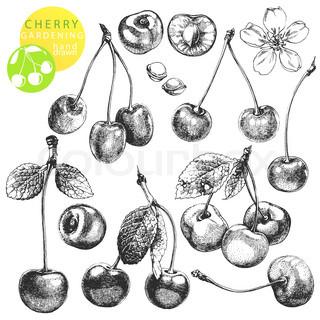 Vintage clip art illustrations of hand drawn cherry